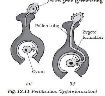 NCERT Class VII Science Chapter 12 Reproduction in Plants