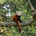 Red Panda, Burgers Zoo, Arnhem, Netherlands - 0963 by HereIsTom