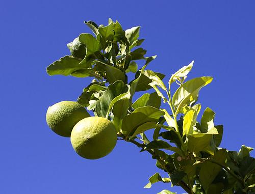 POTD: Lemons