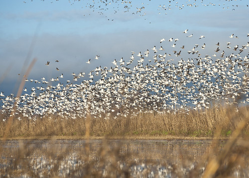Geese Rising