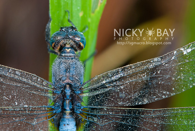 Dragonfly (Anisoptera) - DSC_0766