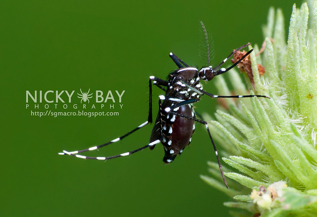 Mosquito? (Culicomorpha) - DSC_8674