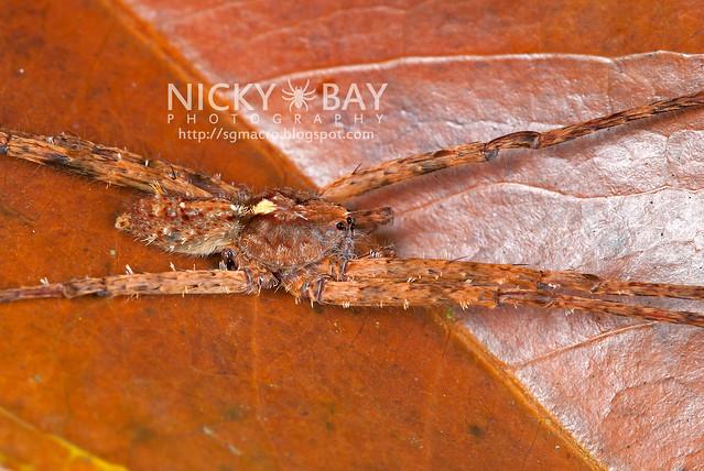 Wandering Spider (Ctenidae) - DSC_8270