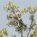 Small photo of Shikra (Accipiter badius)