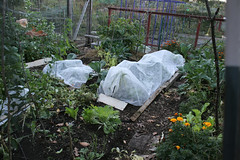 frost protected garden 029