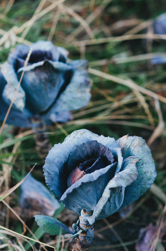 Harvest Home Purple Cabbage