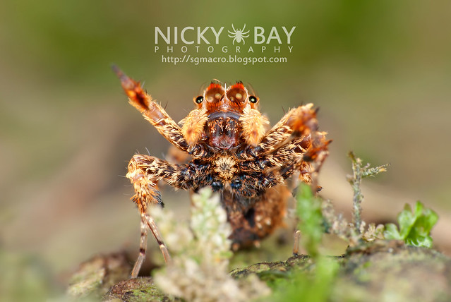 Jumping Spider (Portia sp.) - DSC_4350