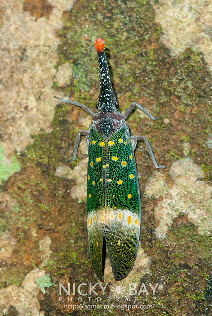 Lantern Bug (Pyrops pyrorhyncha) - DSC_4271