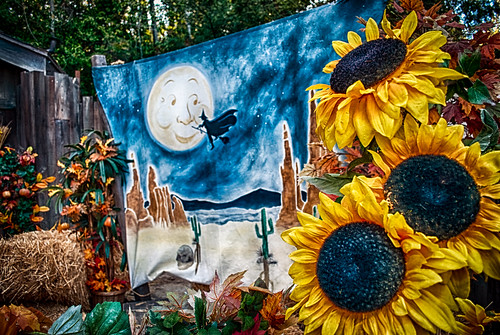 moon color fall halloween fence nikon witch disneyland disney sunflowers backdrop d200 hdr frontierland disneylandresort halloweentime halloweenfestival bigthunderranch fencefriday fencedfriday hbmike2000