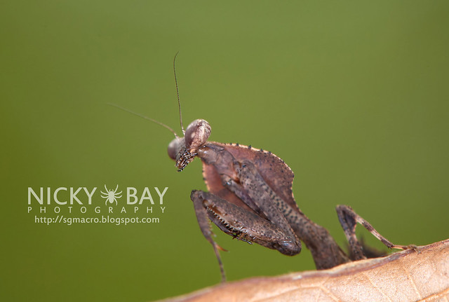 Dead Leaf Mantis? (Deroplatys sp.?) - DSC_2349