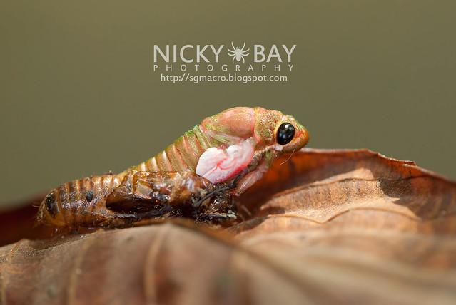 Cicada (Cicadidae) - DSC_1742