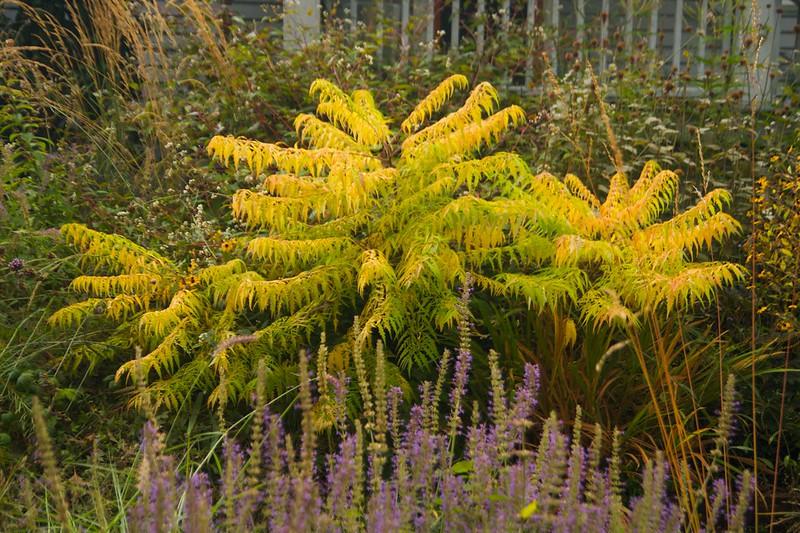 sumac foliage  2370