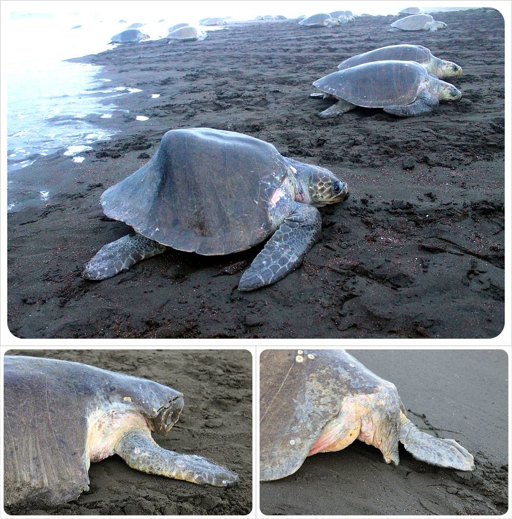 Deformed and injured turtles in Ostional