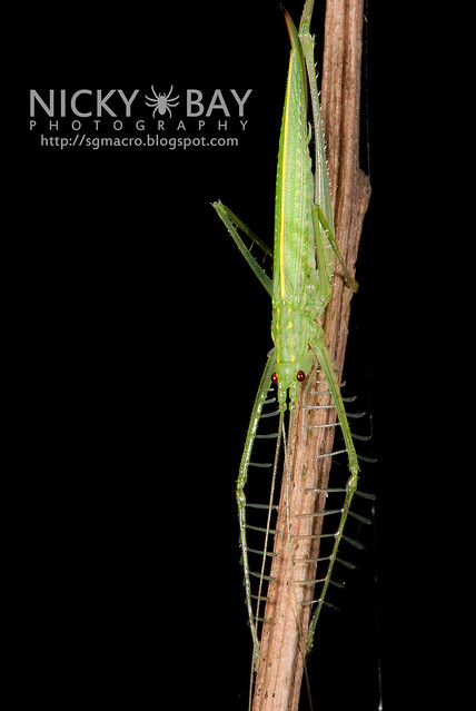 Katydid (Phisidini) - DSC_0645