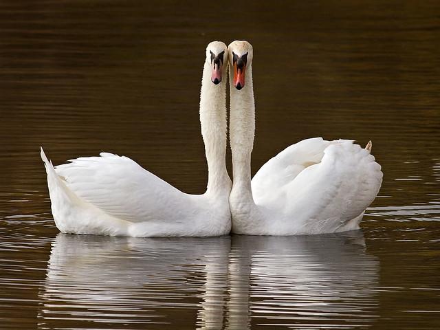 Two mute swans cuddling