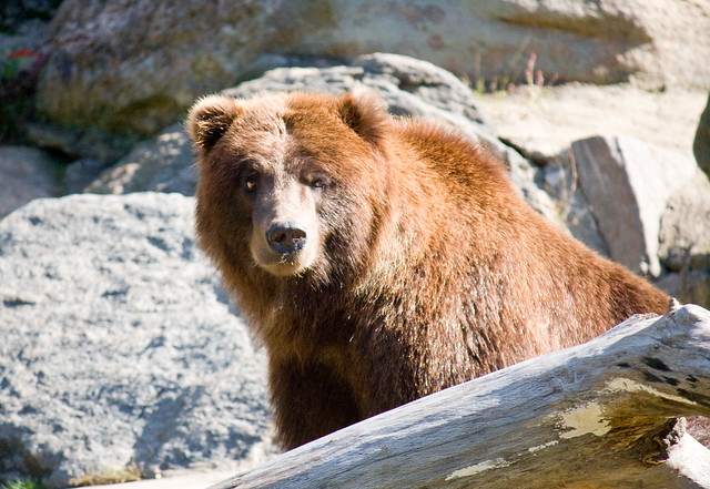 Brown bear, Bronx Zoo