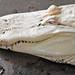 Small photo of Albino American Alligator (Alligator mississippiensis) head