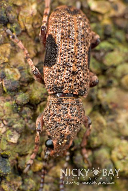 Fungus Weevil (Anthribidae) - DSC_0227