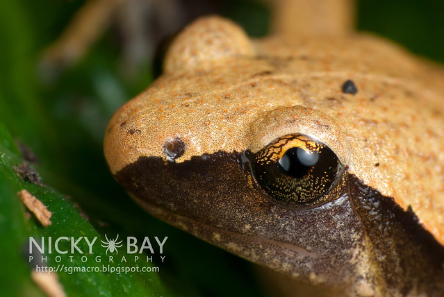 Dark Sided Chorus Frog (Microhyla heymonsi) - DSC_9500
