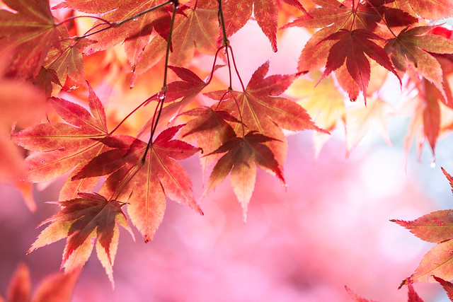 Autumn pinks