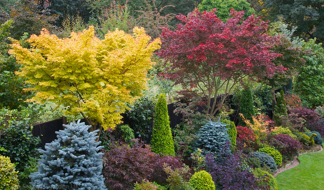 Acer palmatum 'Sango-kaku' and  Acer palmatum 'Trompenburg' Japanese maples in autumn