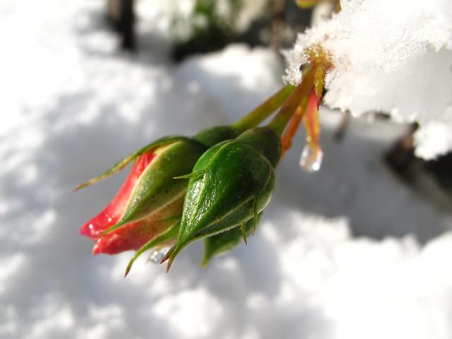 Vinterroser