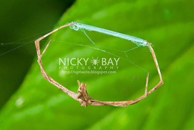 Net-Casting Spider (Deinopidae) - DSC_8818