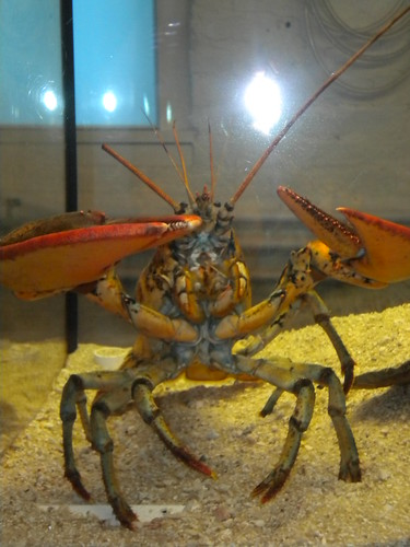 This lobster proudly snaps his claws in our direction