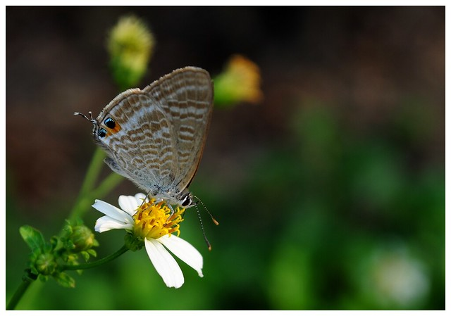 Azuré porte-queue (long-tailed blue) / Lampides boeticus