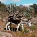 Burro cargando leña - Burro carrying firewood with palms behind; entre La Paz y Guadalupe Hidalgo, Región Mixteca, Oaxaca, Mexico por Lon&Queta