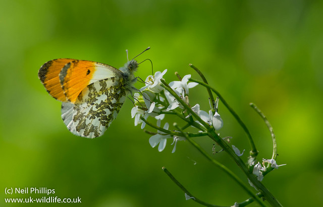 male orange tip butterfly 2