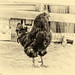 BnW black rooster