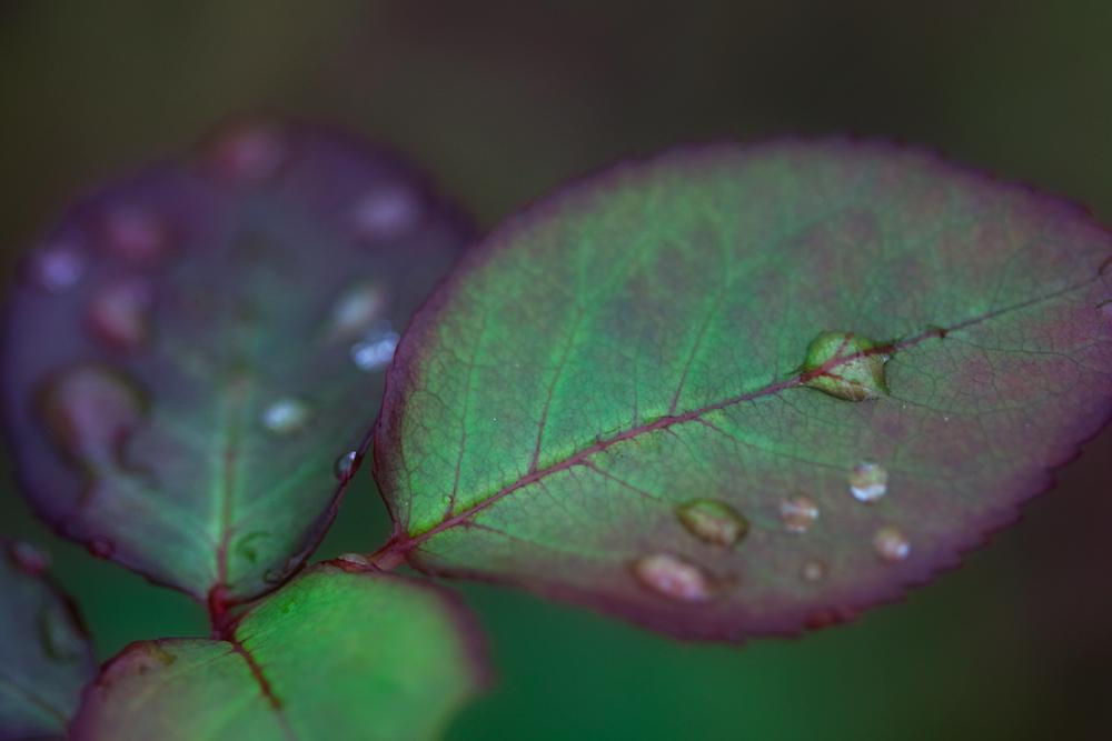 15/365 - Raindrops on Roseleaves