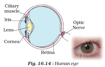 Ncert class viii science chapter 16 light aglasem schools when we say that a person has green eyes we refer actually to the colour of the iris the iris controls the amount of light entering into the eye ccuart Choice Image