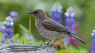 Turdus ignobilis (Black-billed Thrush)
