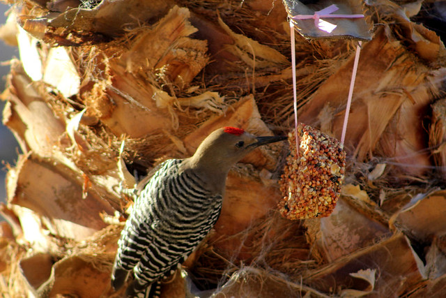 Gila Woodpecker (Female)