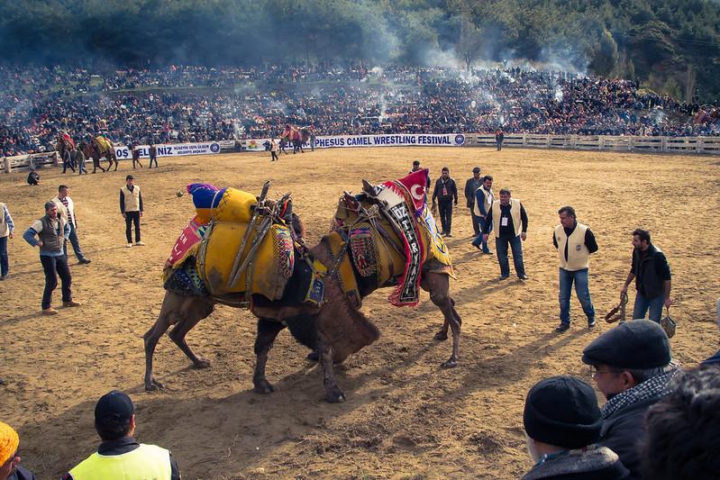 Lucha de camellos. Camel wrestling.