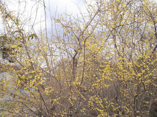 蝋梅の花@明日香村八釣-06