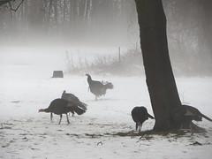 Foggy turkeys