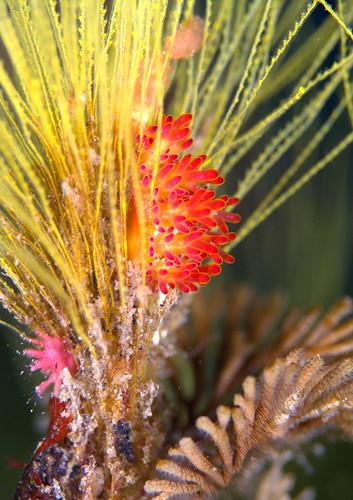 マツカサウミウシ属の一種