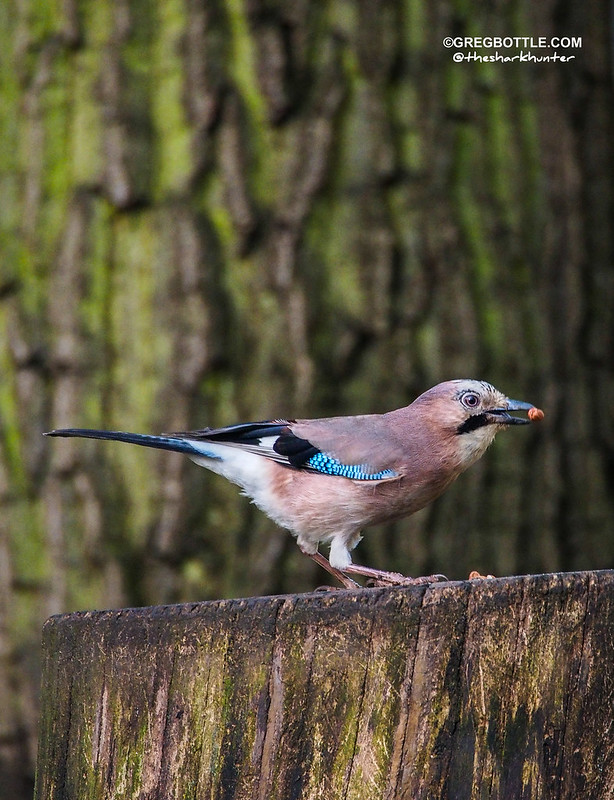 Jay eating a peanut