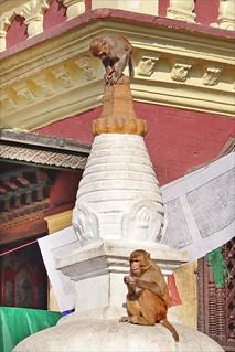Image of Swayambhunath near Kathmandu. stupa religion macaques népal bouddhisme swayambhunath dalbera letempledessinges