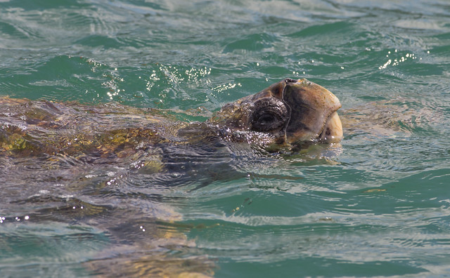 loggerhead turtle 3