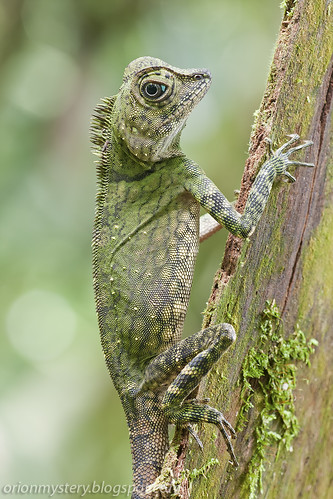 A beautiful female Gonocephalus borneensis lizard IMG_6640 copy