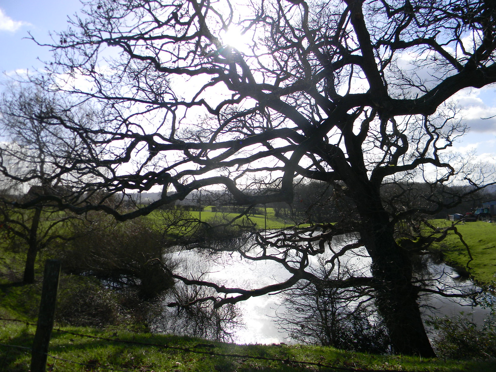 Tree by pond - near start Stonegate Circular