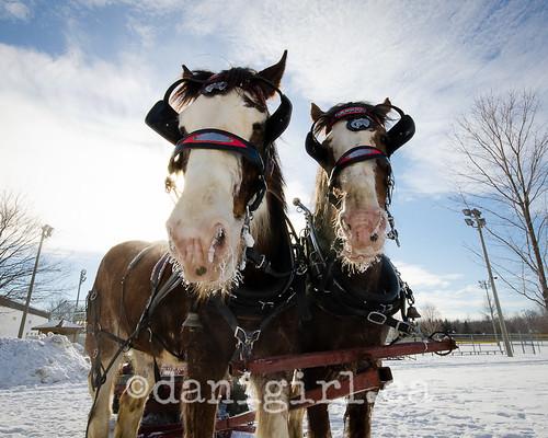 Shiverfest horses