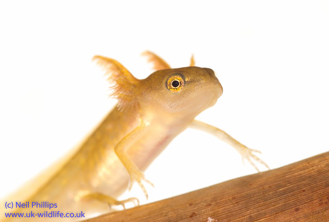smooth newt MTN 2