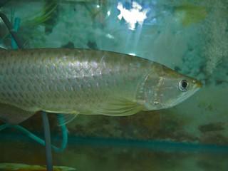 Asian Bonytongue (Scleropages formosus)