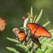 Queen Butterflies (Danaus gilippus) - Arizona-Sonora Desert Museum by Jim Frazee