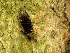 Scaly-winged Barklouse